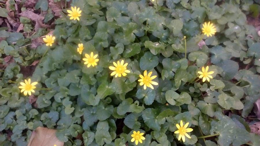 Espeso manto de hojas y flores de Celidonia menor, ranunculus ficaria o ficaria verna en Asturias