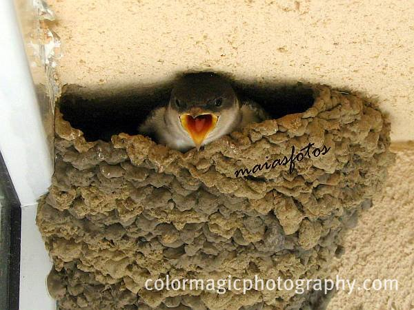 House Martin baby bird with wide open beak