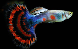 Gambar indukan ikan guppy terbaik