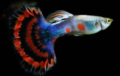 Indukan Ikan Guppy