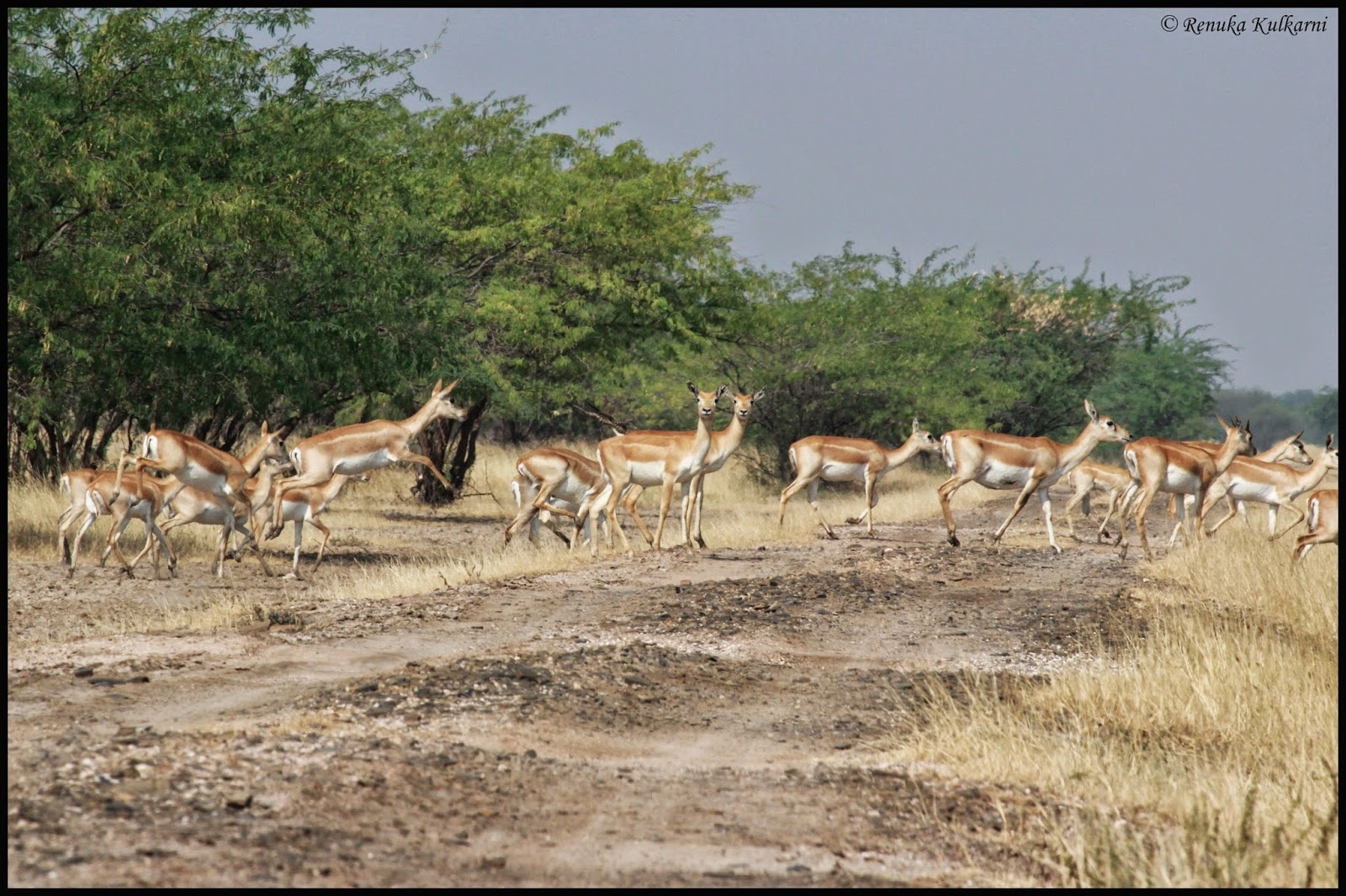 Blackbucks crossing...