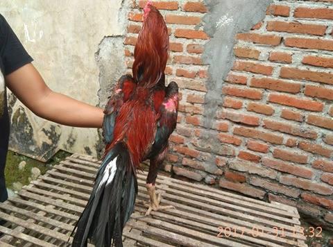 Tips Merawat Ayam Aduan Setelah Bertarung