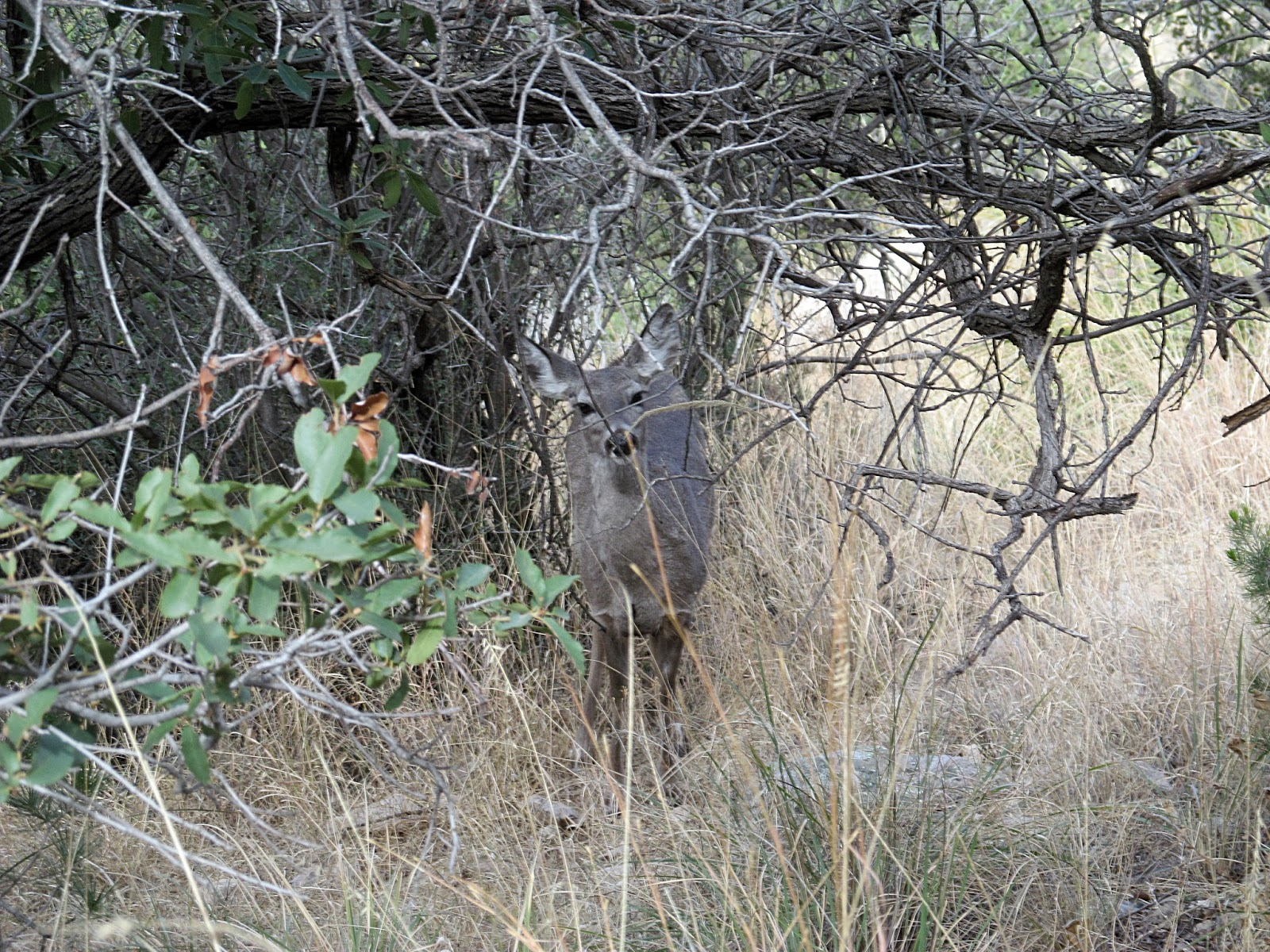 coues doe