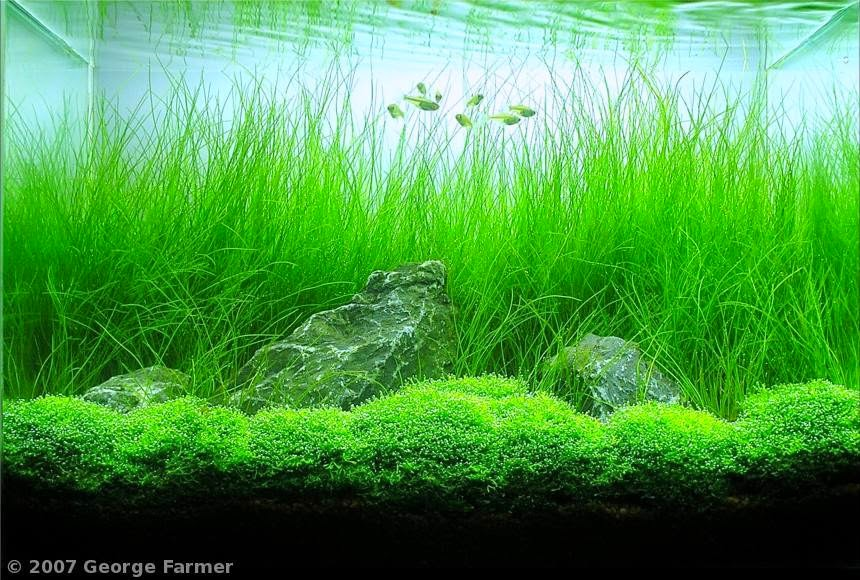 Captivating Dwarf Hairgrass 70 83 F PH: 6.5 7.5 Moderate To High Light   Aquariums    Pinterest   Dwarf, Aquariums And Tropical Fish
