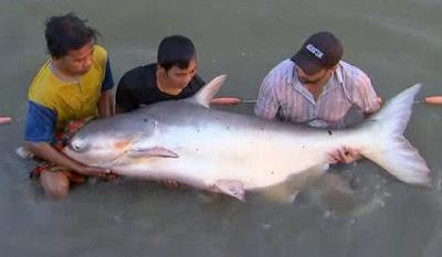 Con cá tra siêu lớn bắt ở biển hồ