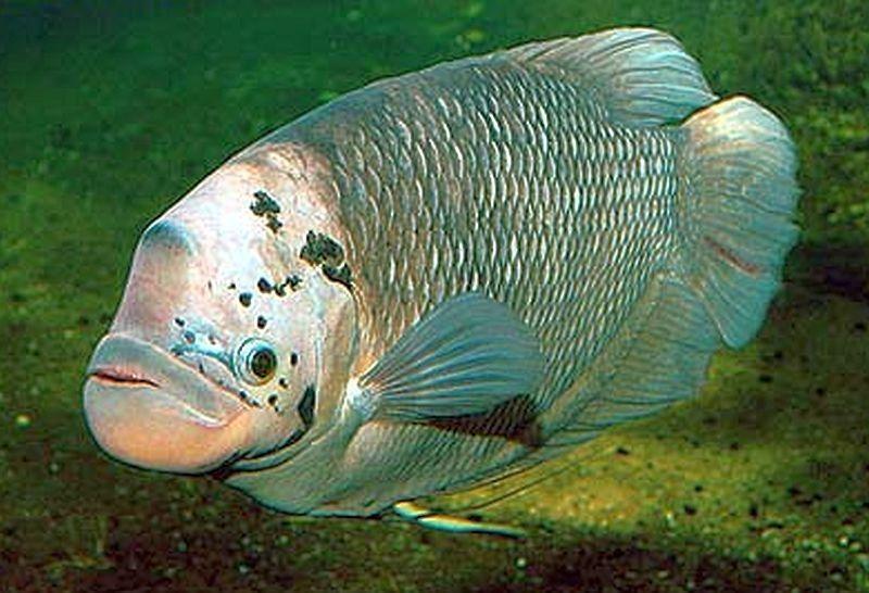 harga ikan gurame hias