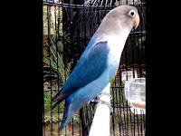 Menjadikan Lovebird Fighter Balibu Dan Dewasa