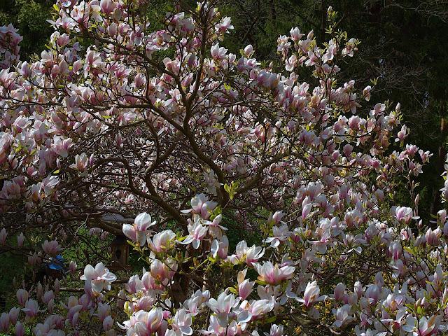 magnolie polskie morze, kiedy kwitną kwiaty