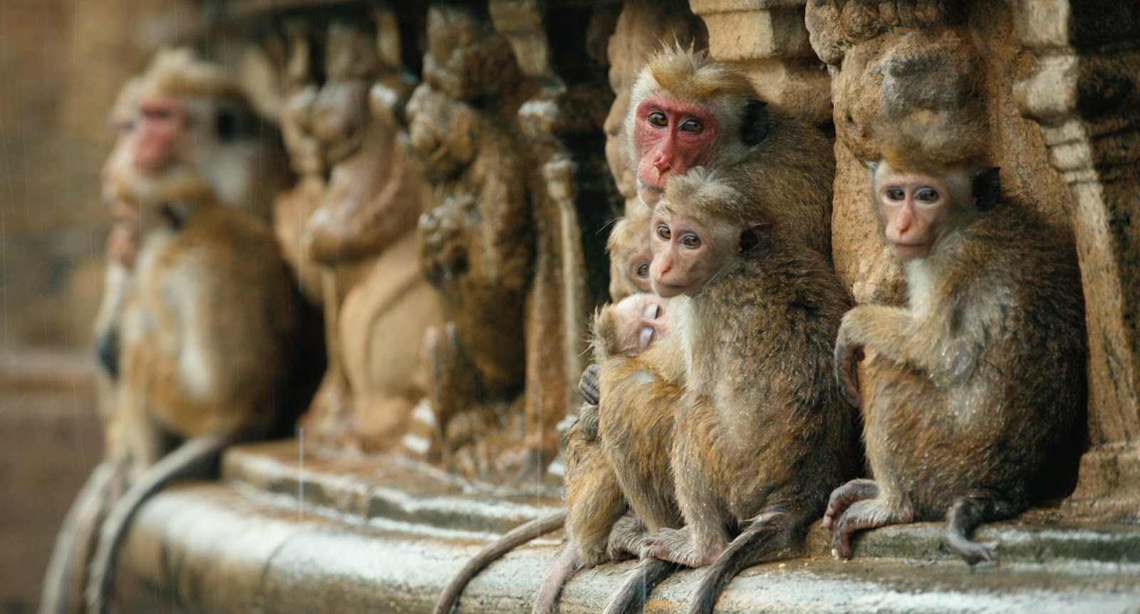 "Disneynature's ""Monkey Kingdom"""