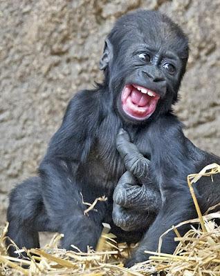we laugh like gorilla