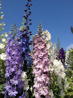 delphinium flowers poem caroline gerardo
