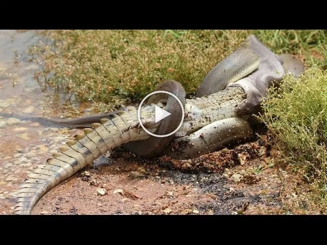 DOWNLOAD VIDEO: Snake Devours Crocodile After 5 Hour Battle…..What Happened Next Will Shock You