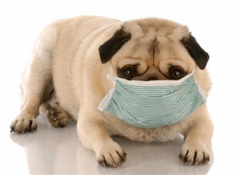 pet  Alergias em Cães Sintomas e Tratamento