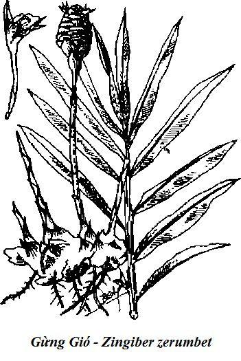 Hình vẽ Gừng Gió - Zingiber zerumbet - Nguyên liệu làm thuốc Chữa Bệnh Tiêu Hóa