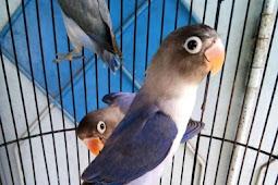 Harga lovebird violet df dan violet sf