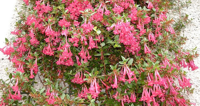 How to prune Abelia