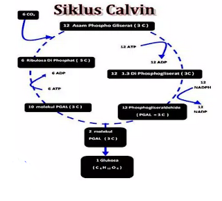Pengertian dan Gambar Tahapan Siklus Calvin Pada Tumbuhan