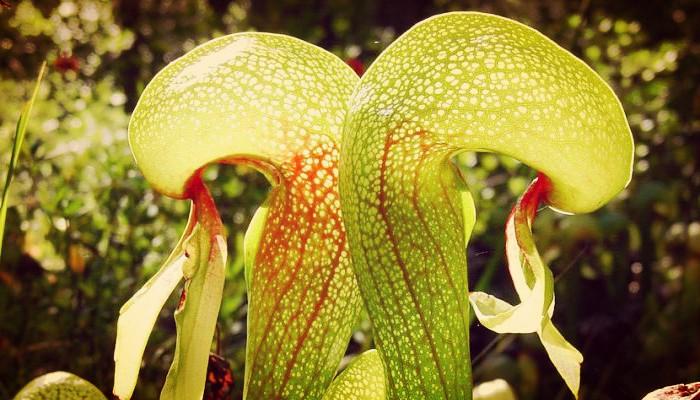 Plantas lirio carnivora