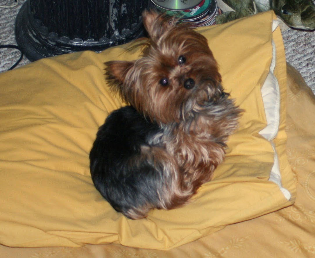 minature yorkie trixie lee loves versace 1782