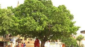 huge-pipal-tree