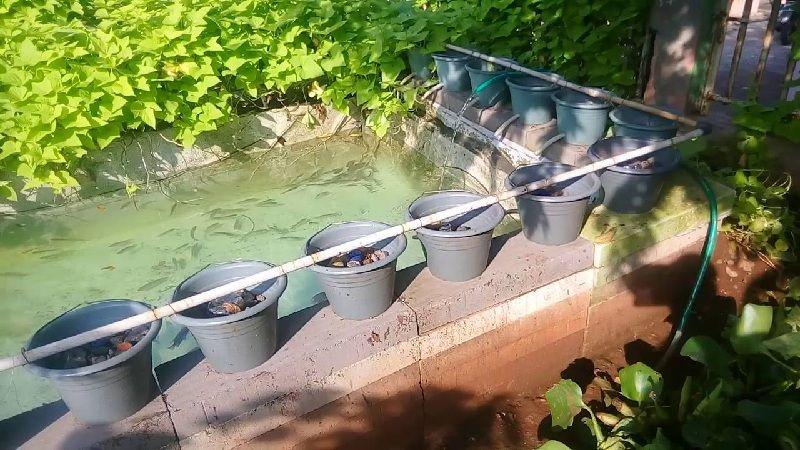 budidaya ikan gurame di kolam tembok