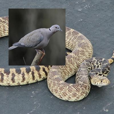 A serpente e a pomba