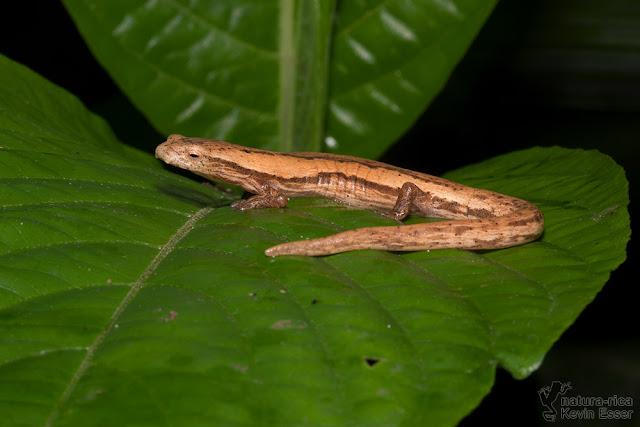 Striated Webfoot Salamander - Bolitoglossa striatula