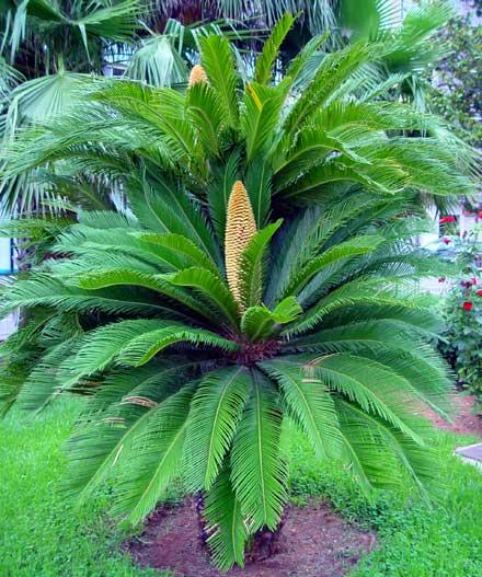Agapornis para saber que palmeras son toxicas y cuales no for Plantas de interior tipo palmera
