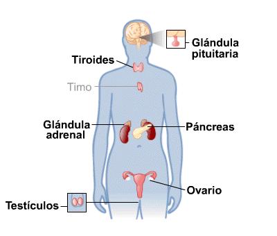 glandulas exocrinas definicion pdf