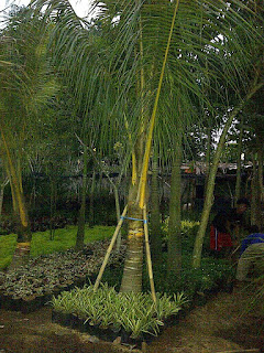 pohonpalemkuning