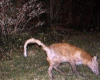 Terrierman's Daily Dose: A Spot of Mange Raccoon With Mange
