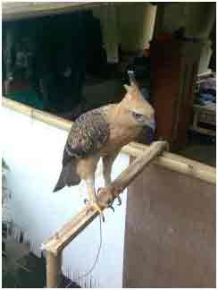 Cara Merawat Burung Elang Merawat Burung Elang Untuk Pemula