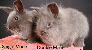 Lion Head Rabbit Single and Double Mane