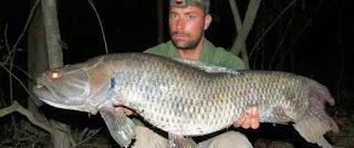 Ikan Serigala