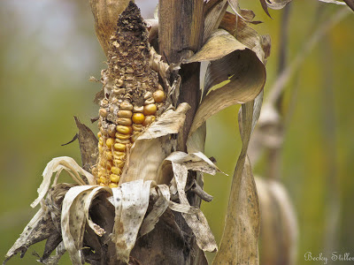 spiritual food, spirituality, spiritual awakening, Becky Stiller Photography, corn, maize,