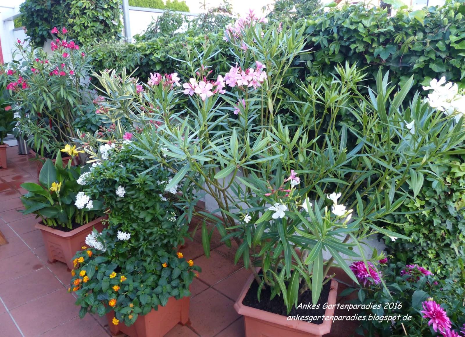 Winterharte k belpflanzen sonnig wohn design for Winterharte kubelpflanzen