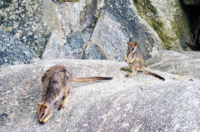 granite gorge rock wallabies