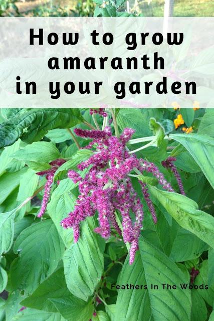 Growing love lies bleeding amaranth