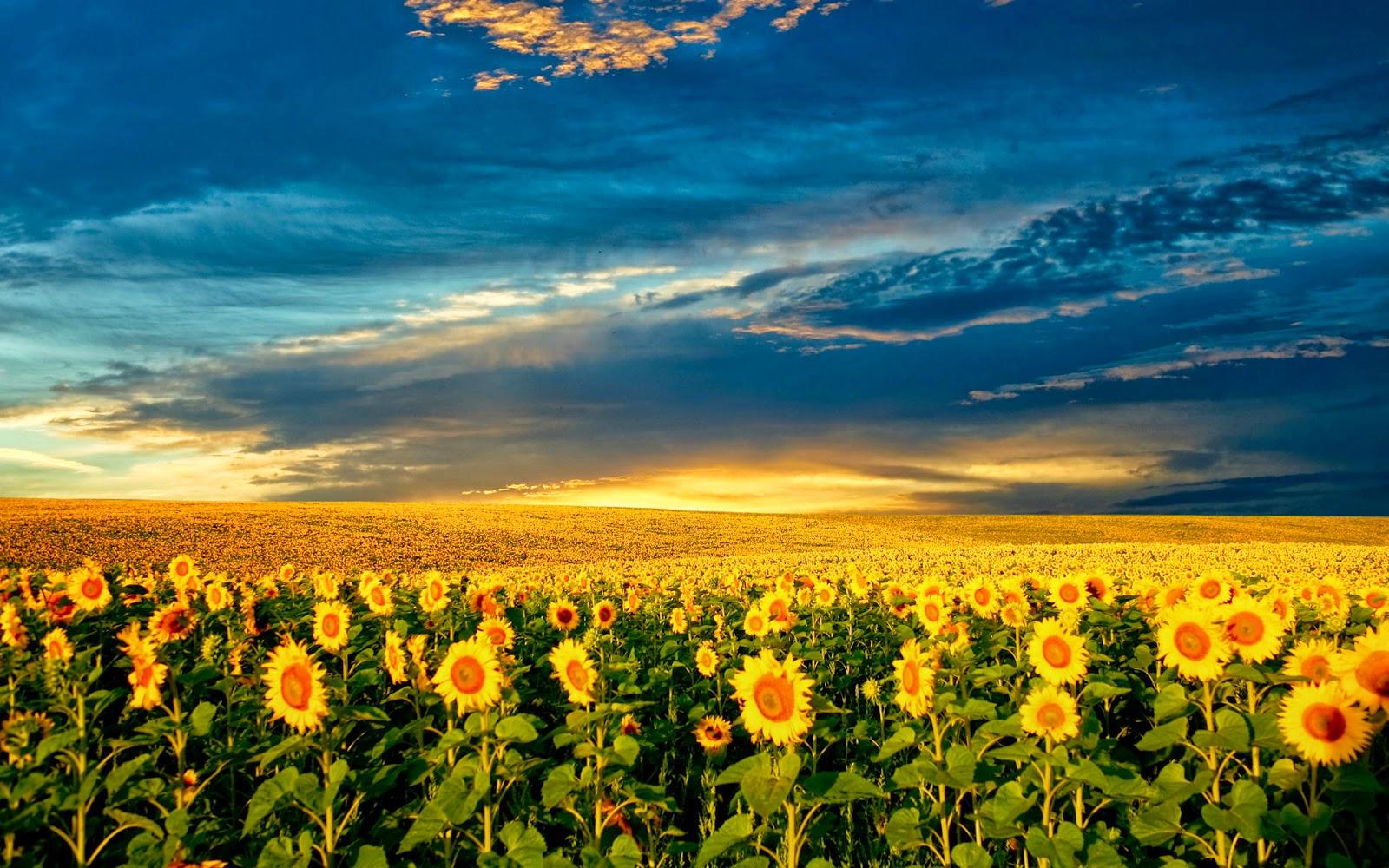 Free Download Wallpapers Free Download Beautiful Sunflower Field Hd Wallpaper