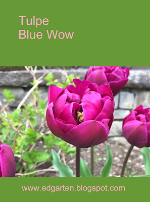 Pin Tulpe Blue Wow