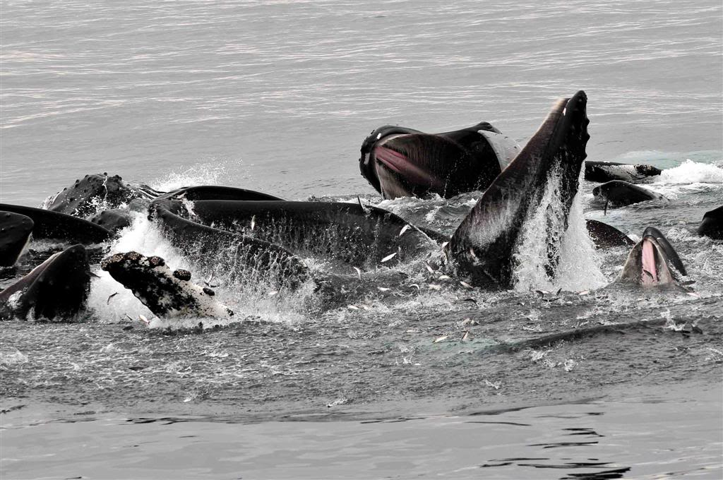 Humpback whales feeding on fish with wide mouth open.