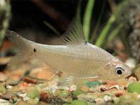 Bilih, Ikan Primadona Danau Singkarak Mulai Langka
