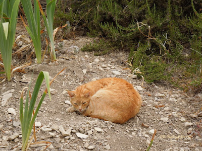 Garfield the Cat Resting in Herb Garden, © B. Radisavljevic