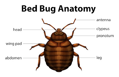 Bed Bug Anatomical drawing.
