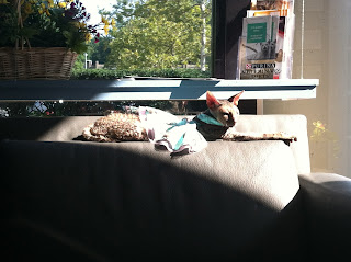 Kely the Cornish Rex cat stretched out in the sun