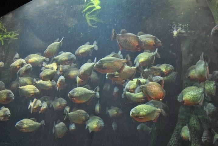 Piranalar başka balıklarla aynı akvaryuma konabilir mi?