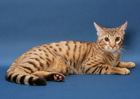 Ocicat - Most Beautiful Cats
