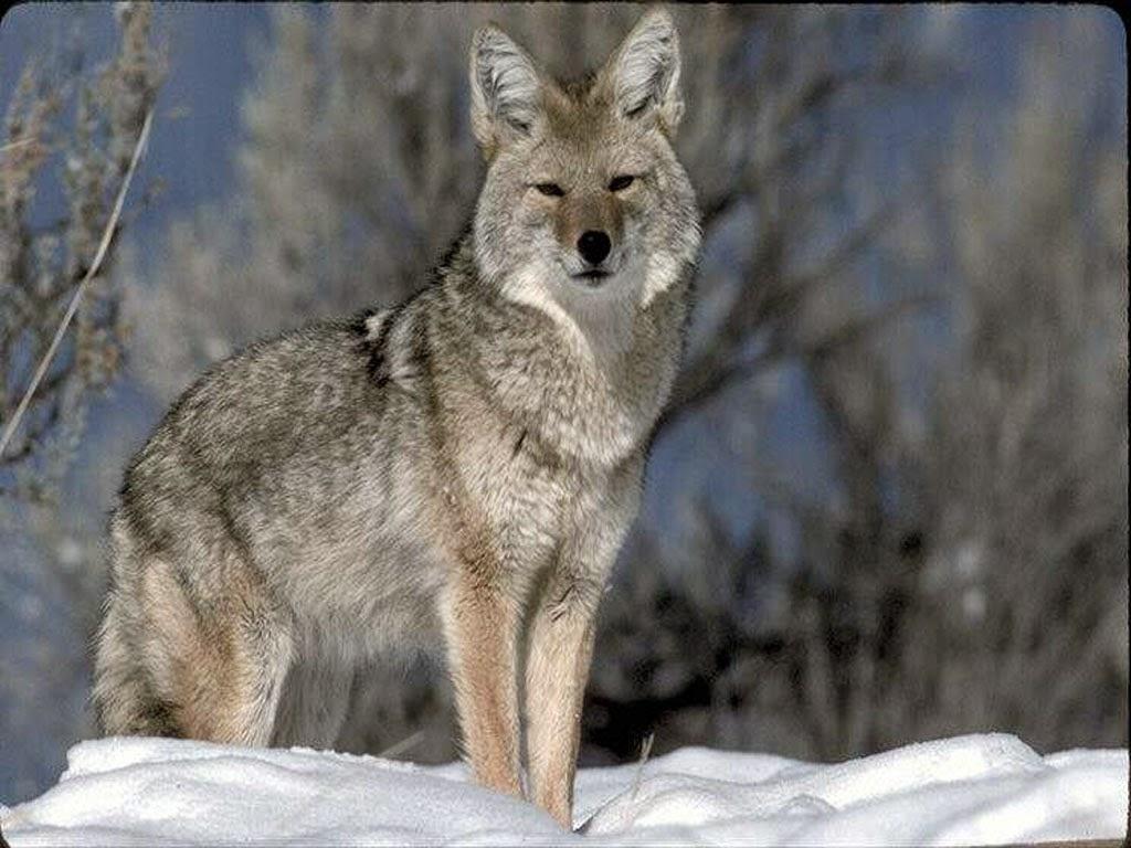 Serigala Lucu
