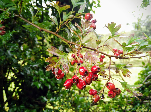 red berries, hawthorn, Galway