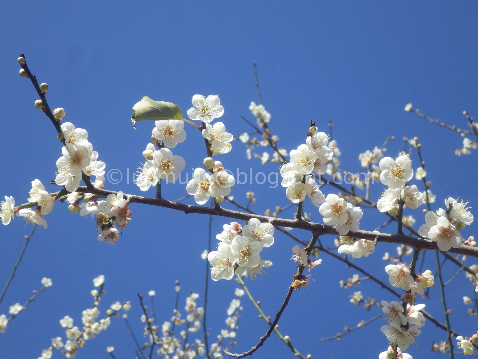 Plum blossoms in Taipei